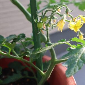 ミニトマト 鉢植え